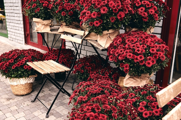 Witte, roze, rode of gele chrysantenplanten bloeien in de bloemenwinkel. struiken van bourgondische chrysanten tuin of park buiten. herfst decoraties.