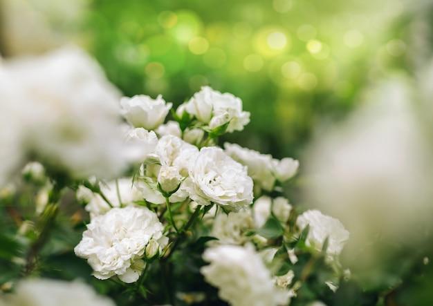 Witte rozen in de natuur met een zonnige achtergrond.