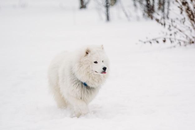 Witte samojeed-hond in de sneeuw