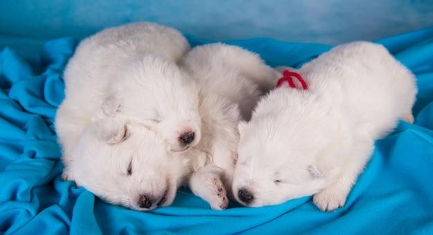 Witte samojeed-puppy's slapen in een deken