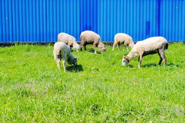 Witte schapen grazen bij het hek