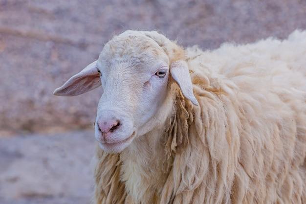 Witte schapen in de boerderij