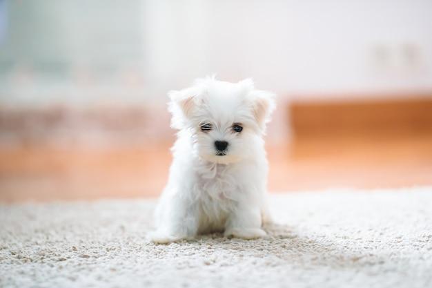 Witte schattige maltese puppy, 2 maanden oud op zoek naar ons