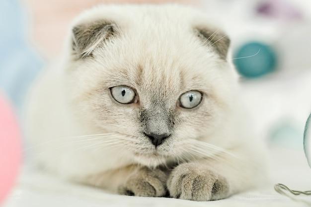 Witte schotse vouwen binnenlandse kat die in bed ligt. mooi wit katje. portret van schotse kitten met blauwe ogen. schattige witte kat kitten vouwen grijze oren. gezellig huis. dierlijke huisdier kat. sluit omhoog exemplaarruimte.