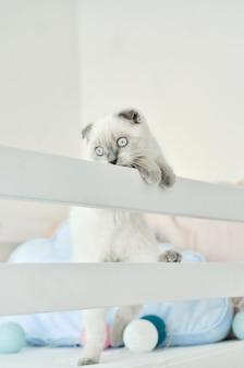 Witte schotse vouwen binnenlandse kat spelen in bed met kleurrijke lichten ballonnen. mooi wit katje