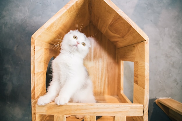 Witte schotse vouwenkat die zich in mooi houten kattenhuis bevindt en naar camera in woonkamer kijkt