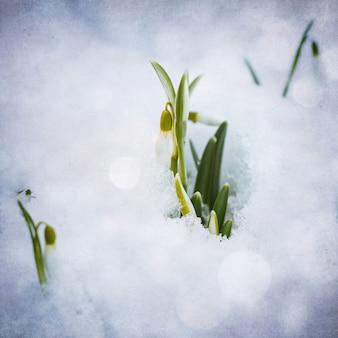 Witte sneeuwklokjes met sneeuw