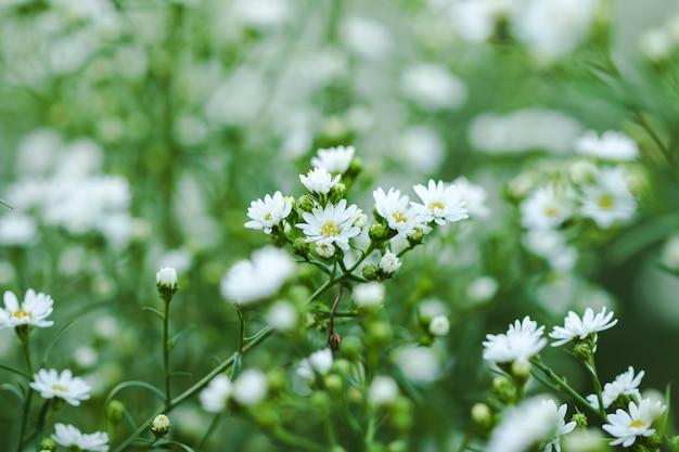 Witte snijderbloem bloeit