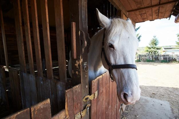 Witte stal paard op de boerderij