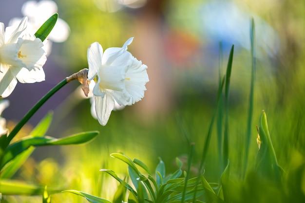 Witte tedere narcissen die bloeien in de lentetuin.
