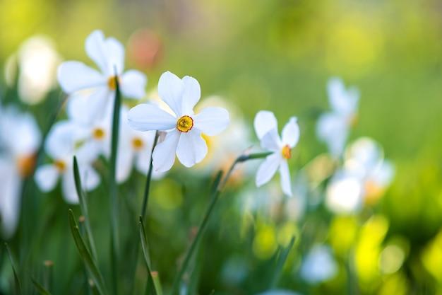 Witte tedere narcissen die in de lentetuin bloeien.