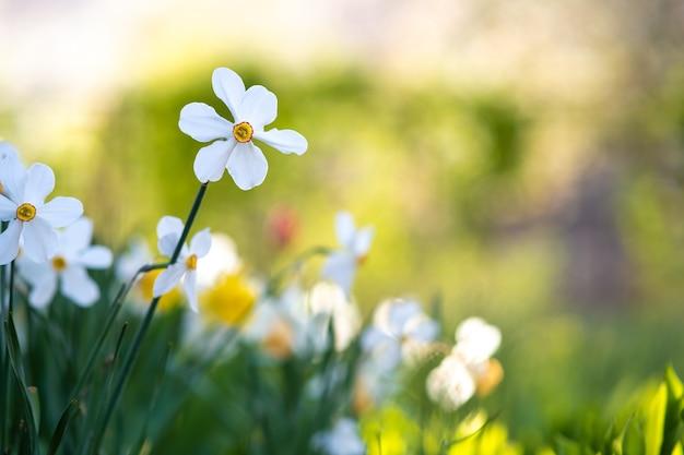 Witte tedere narcissenbloemen die in lentetuin bloeien.