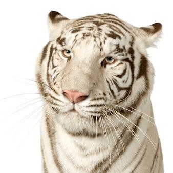 Witte tijger (3 jaar) vooraan op een geïsoleerd wit