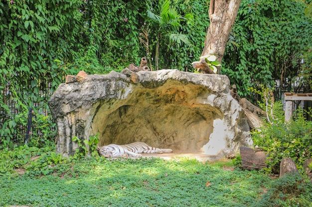 Witte tijger die in de dierentuin slapen