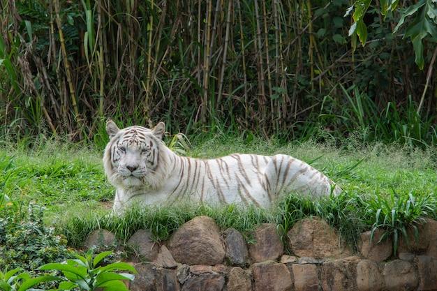 Witte tijger die op het gras ligt