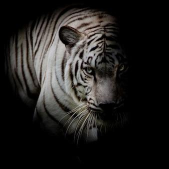 Witte tijger geïsoleerd op zwarte achtergrond