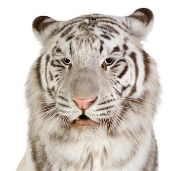 Witte tijger vooraan op een geïsoleerd wit