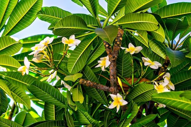 Witte tropische bloemen (plumeria, frangipani)
