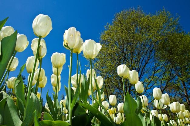 Witte tulp in villa taranto