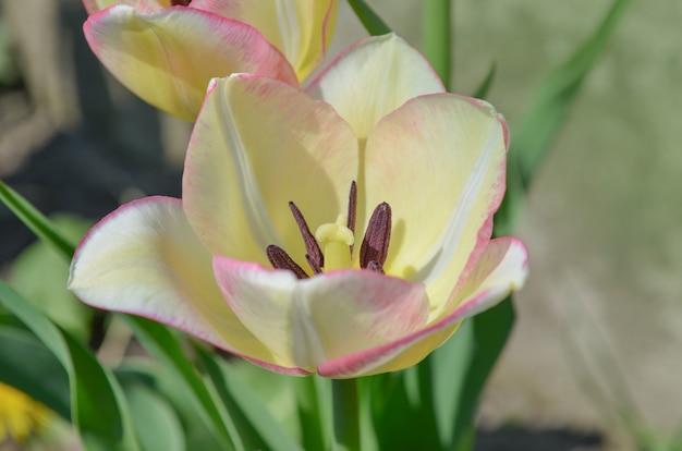 Witte tulp met roze strepen