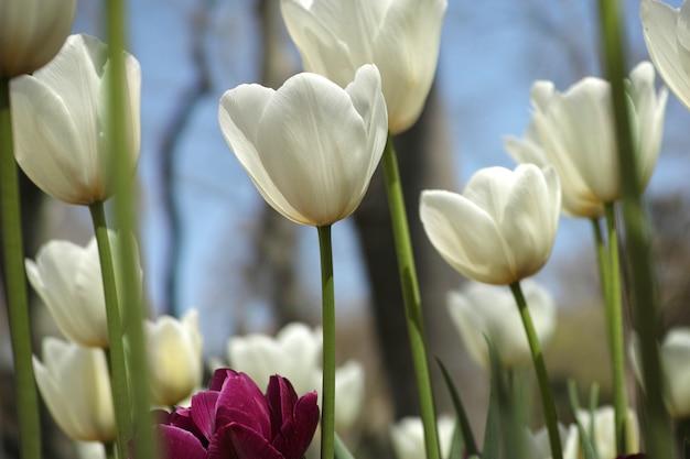 Witte tulpen met onscherpe achtergrond