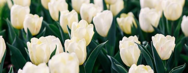 Witte tulpenbloem