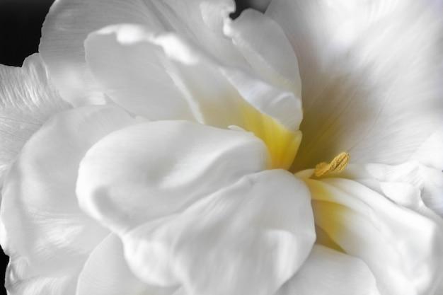 Witte vage tulpenbloem met gele kernclose-uptextuur als achtergrond.