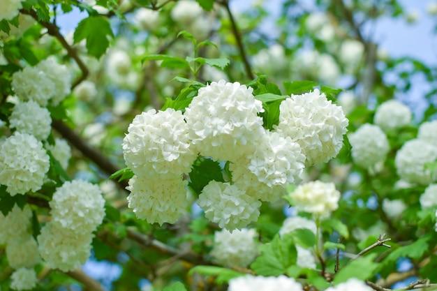 Witte verse toppen van lentebloemen op hout