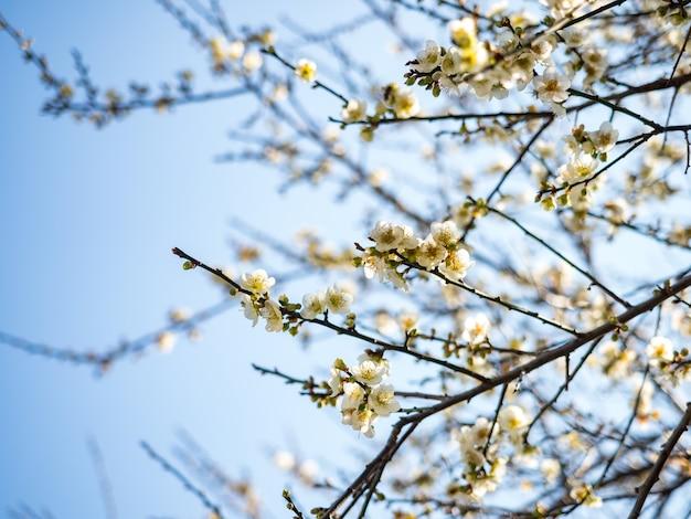 Witte victoria plum bloesem tegen een donkere achtergrond.