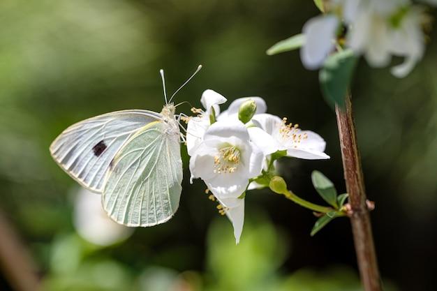 Witte vlinder op een bloem