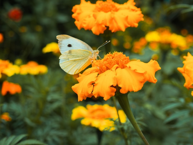 Witte vlinder op gele goudsbloemen close-up