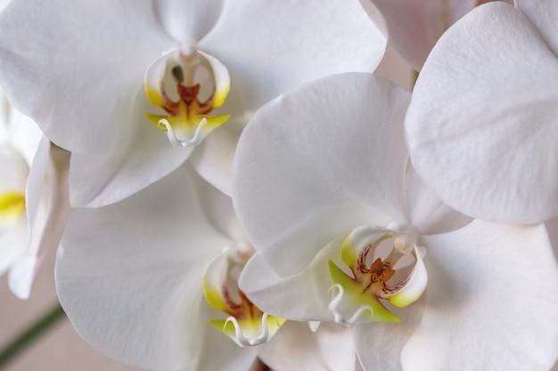 Witte vlinder orchidee