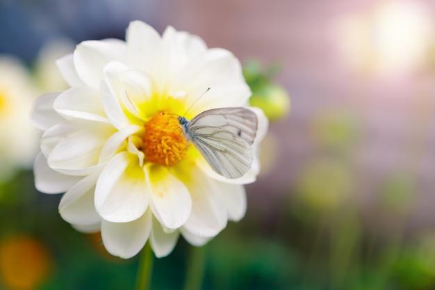 Witte vlinder zit 's ochtends op een bloem in de tuin