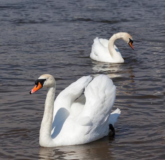Witte volwassen zwanen die op het meer zwemmen
