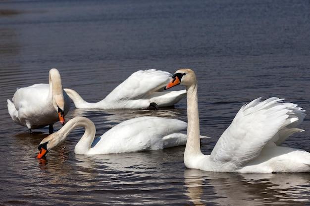 Witte volwassen zwanen zwemmen op het meer close-up van wilde watervogels op het meer of de rivier