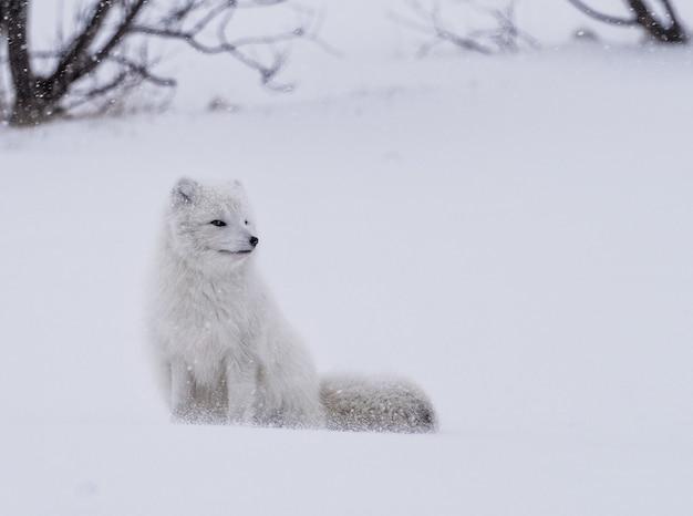 Witte vos die zich overdag op sneeuw bevindt