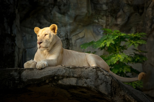 Witte vrouwelijke leeuw die op rotsen rust.