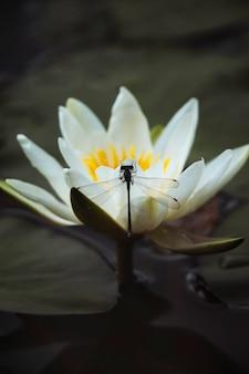 Witte waterlelie in een meer