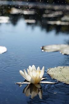 Witte waterlelie wordt weerspiegeld op het wateroppervlak van een bosmeer, bloemenconcept