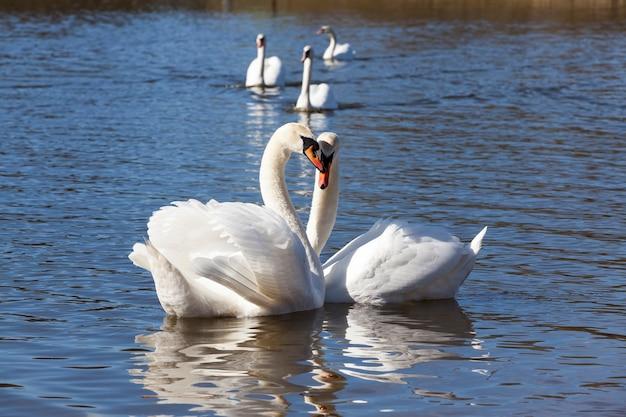 Witte watervogels in de lentetijd van het jaar, dieren in het wild met watervogels