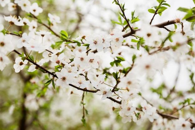 Witte wilde kersenbloemen die op tak bloeien