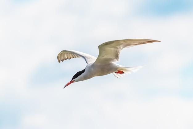 Witte zeemeeuw in de lucht, zeemeeuw tijdens de vlucht