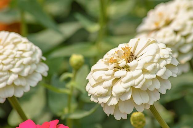 Witte zinnia heldere kleuren trekken insecten aan.