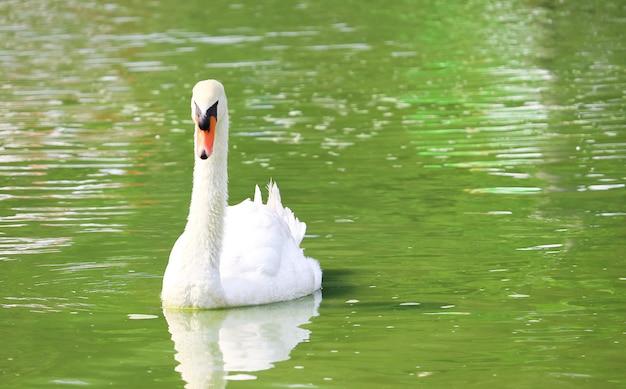 Witte zwaan die in een meer en zijn weerspiegeling in het water zwemt Premium Foto