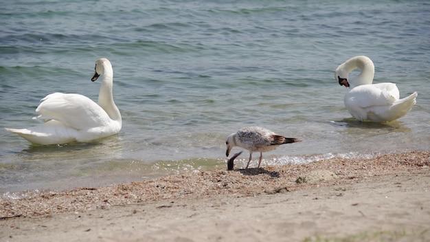 Witte zwaan en verschillende meeuwen op de oever van de rivier. vogels op een rivieroever. witte zwaan die zijn veren schoonmaakt. rivier wilde vogels.