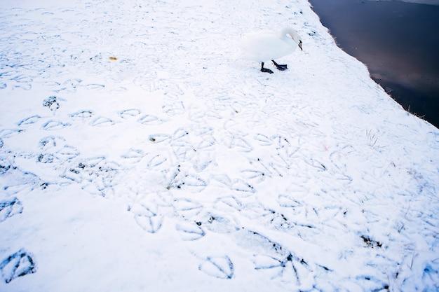 Witte zwaan op een winter vijver. bevroren rivier. voetafdrukken in de sneeuw. winterlandschap met witte zwaan. slapende natuur.