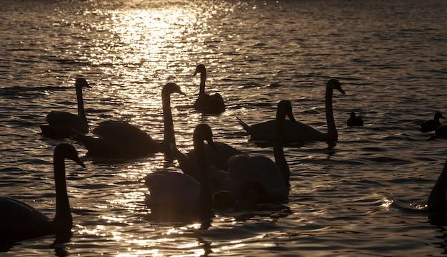 Witte zwaangroep, mooie watervogelszwanen in de lente, grote vogels bij zonsondergang of dageraad, close-up