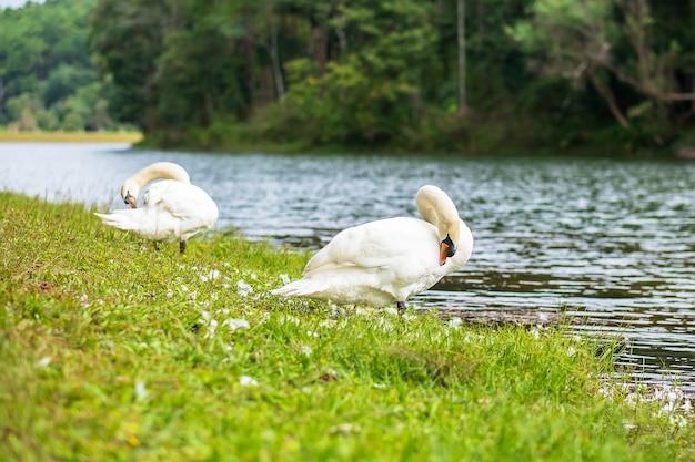 Witte zwanen dichtbij rivier en bosachtergrond