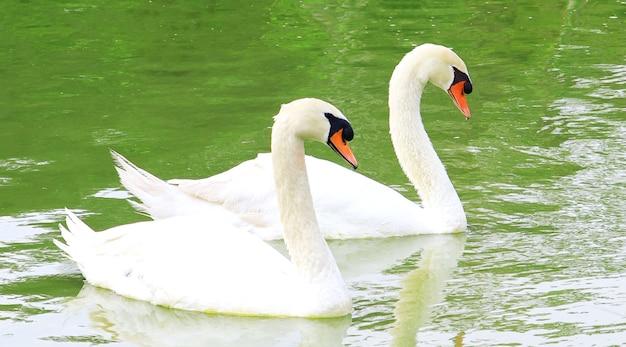 Witte zwanen die in een meer zwemmen en hun weerspiegeling in het water