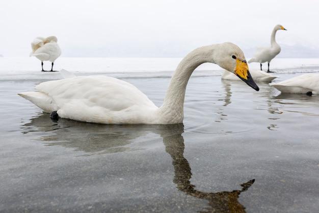 Witte zwanen die in het nonfreezing de wintermeer in japan zwemmen